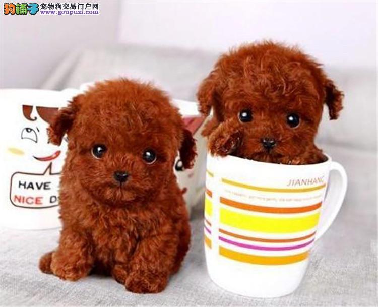 正宗长不大茶杯犬 泰迪贵宾宝宝 爱宝品质值得信奈