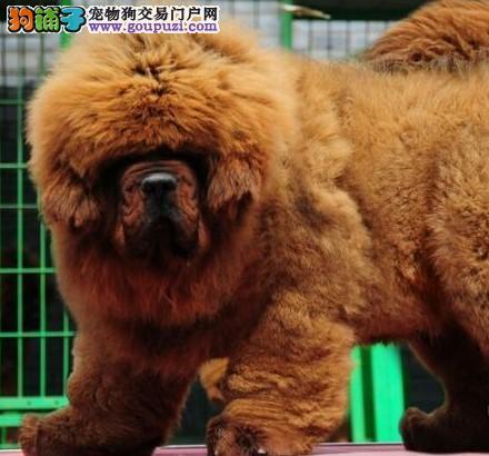 康泰名犬出售铁包金红色藏獒犬幼犬藏獒哪里多少钱