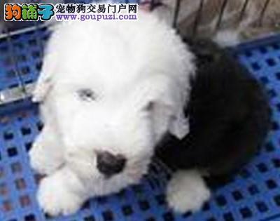 康泰名犬出售古代牧羊犬哪里古代牧羊犬幼犬多少钱