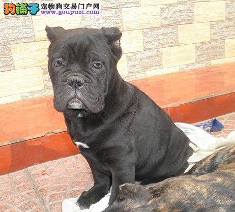 康泰名犬出售猛犬卡斯罗幼犬哪里卡斯罗多少钱
