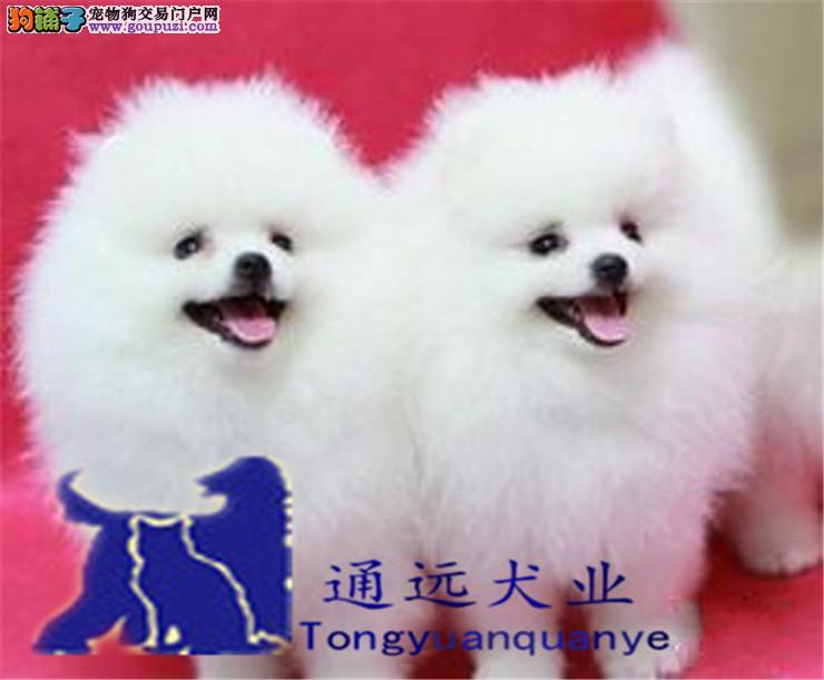 哈多利球体杯犬博美犬舍直销 健康纯种保证,配种
