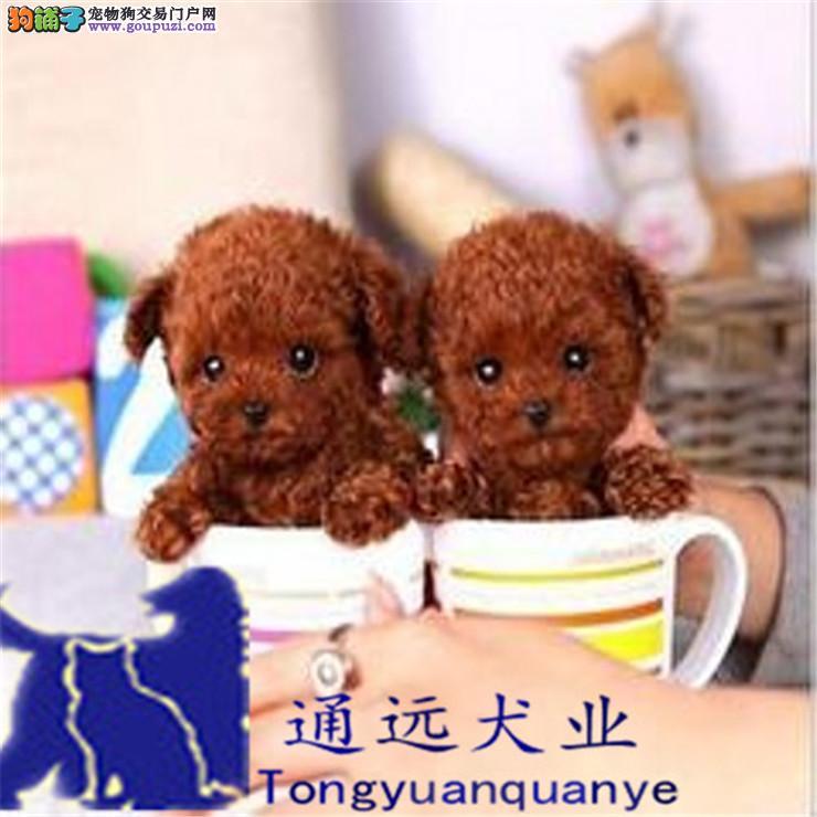 杯犬,玩具体泰迪幼犬,多窝正宗自家繁殖欢迎选购
