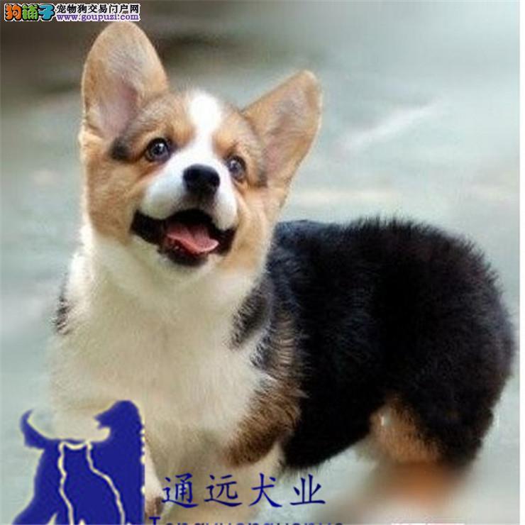 通远犬舍出售威尔士柯基犬 保证纯种健康可上门挑选