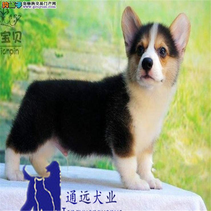 柳州地区售健康柯基犬宝贝威尔士柯基犬已打针驱虫