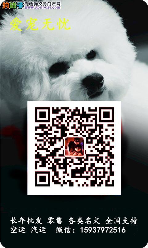 哈多利版球体博美幼犬 肩高不超18厘米不超过3斤