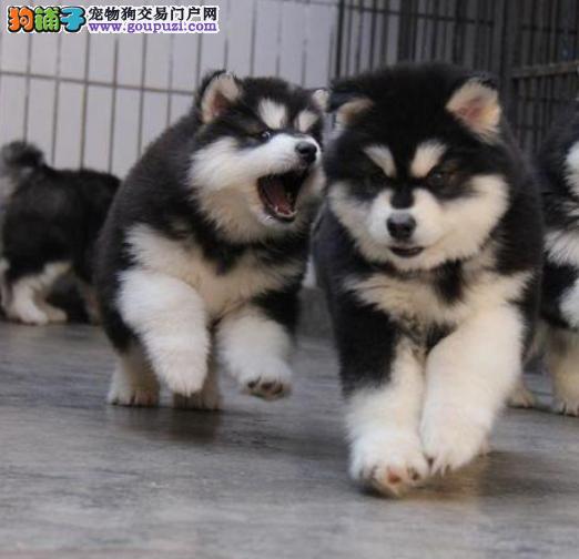 犬舍基地大量出售30多种精品小狗狗 包健康