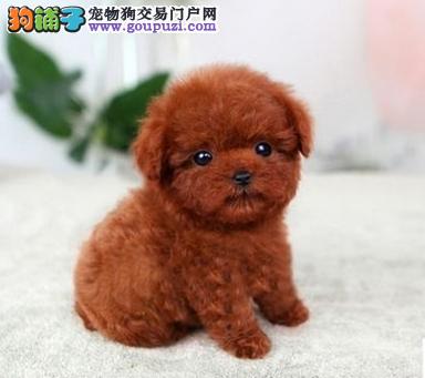 成都哪有泰迪狗狗卖 多少钱一只