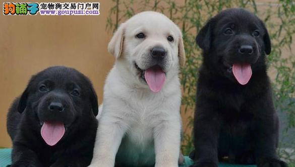 昌江狗场直销拉布拉多犬包健康包养活可签保障协议退换