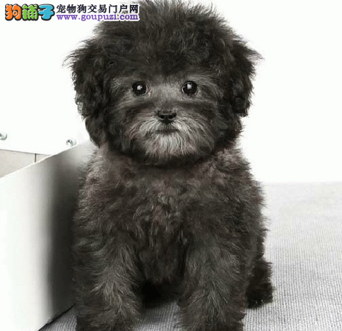 出售精品狗狗 泰迪 萨摩耶 博美 哈士奇 阿拉