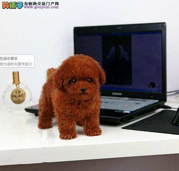 天津哪里有泰迪幼犬出售 泰迪哪里的最好 泰迪多少钱