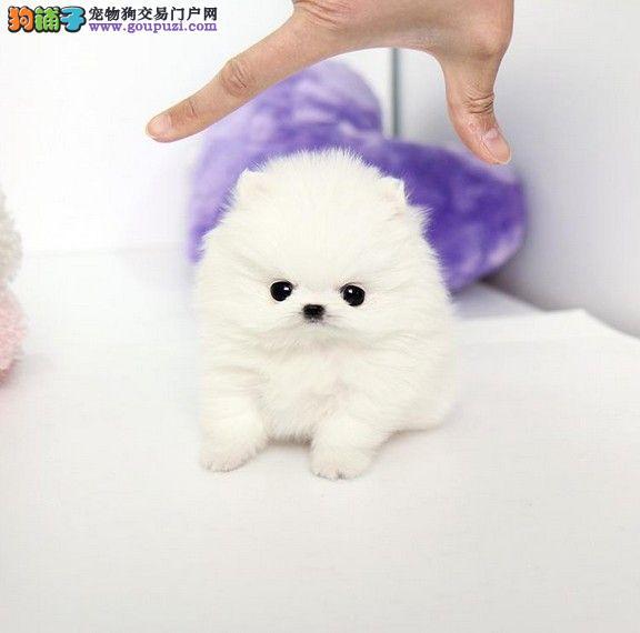天津哪里有博美幼犬出售 博美哪里的最好 长不大的