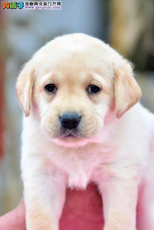 出售忠厚老实的小拉布拉多导盲犬幼犬 家庭伴侣犬