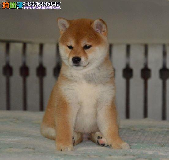自家繁殖日本柴犬 保纯种保健康 可视频看狗 签协议