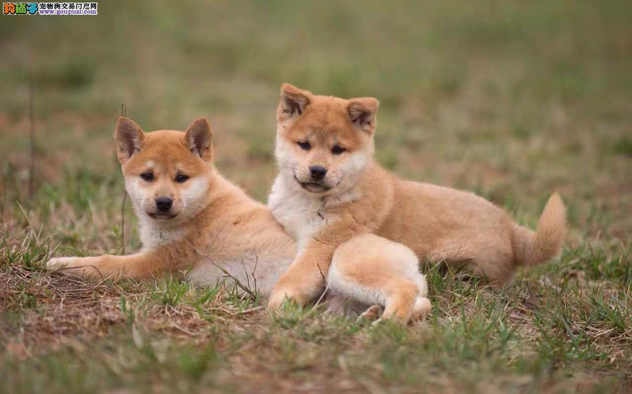 自家繁殖日本柴犬 保纯种保健康 可视频看狗