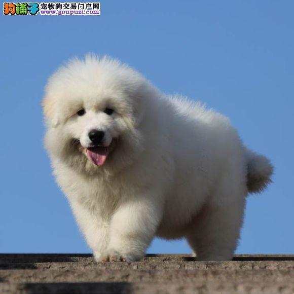 专业繁殖基地 出售纯种大白熊幼犬 签订售后质保协