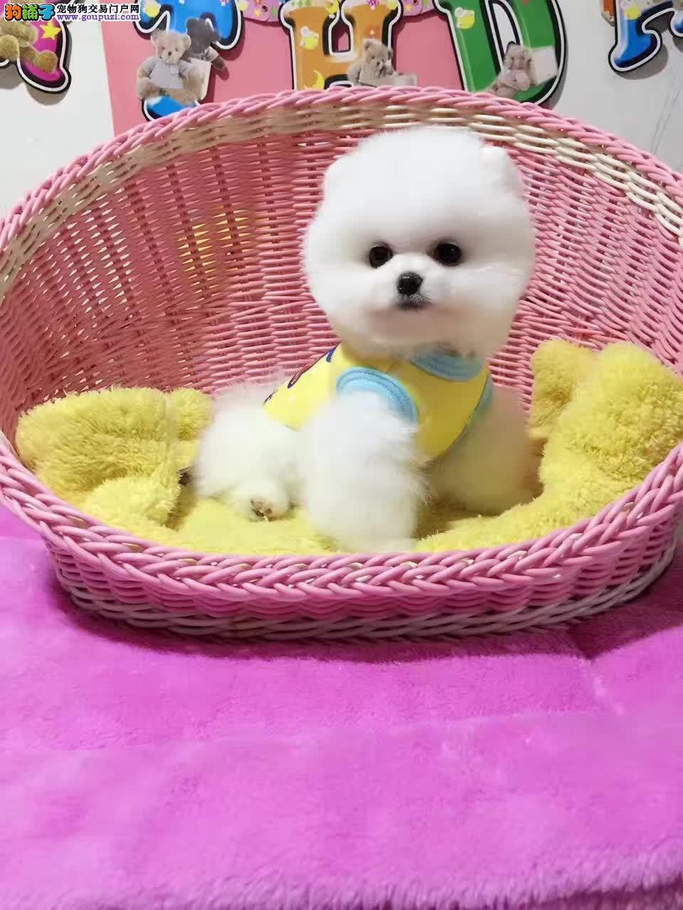 售精品博美宝宝 种犬可对外配种 签署保证协议
