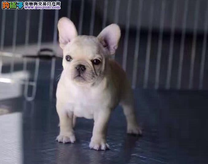 纯种奶白色法国斗牛犬 法斗幼犬 法牛宠物狗包健康