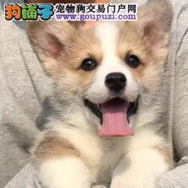 高品质保健康赛级宠物级精品柯基幼犬