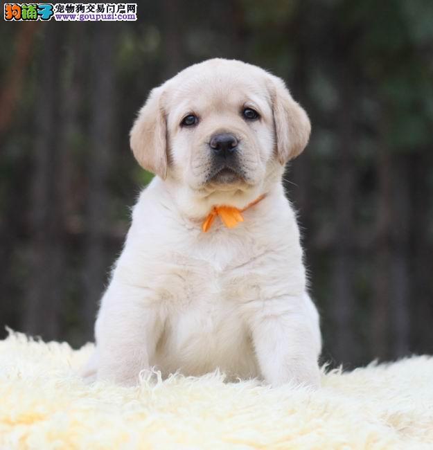 拉拉幼犬最好品质签订协议来场可看狗父母
