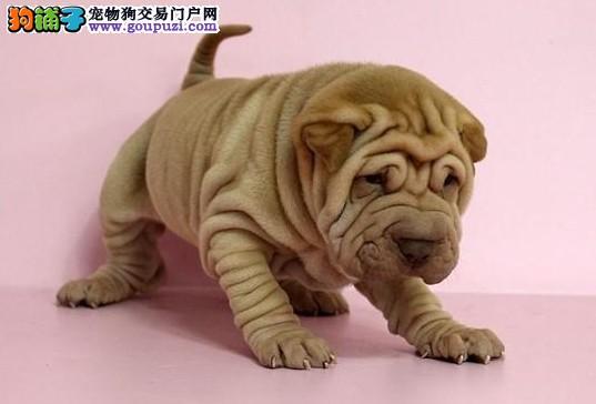正规繁殖基地出售纯血统高品质沙皮幼犬可见父母