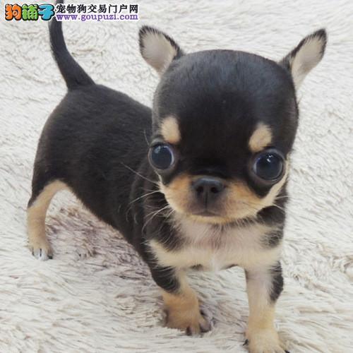 出售纯种吉娃娃幼犬 赛级品质 健康质保 免费送货