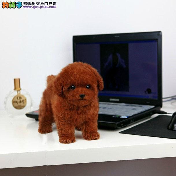 买纯种酒红色茶杯泰迪熊纯种酒红色玩具泰迪熊