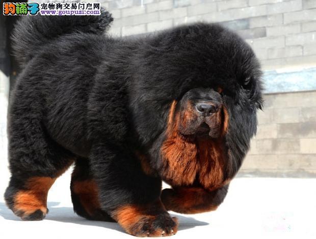 纯种藏獒幼出售 红獒 铁包金狮子头的极品藏獒幼犬