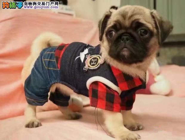 上海那里有巴哥幼犬卖那里能买到巴哥幼犬巴哥多少钱
