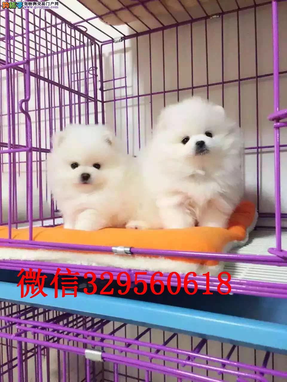 东营哪里有卖博美的 小体博美多少钱 球体博美犬出售