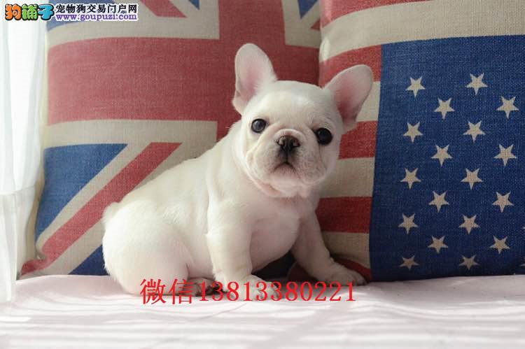 东营哪里有卖法国斗牛犬的 奶油法斗多少钱 纯种法斗