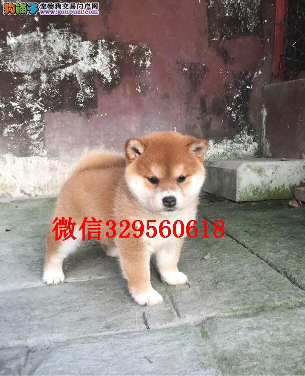 东营哪里有卖柴犬的 纯种柴犬多少钱 日系柴犬出售