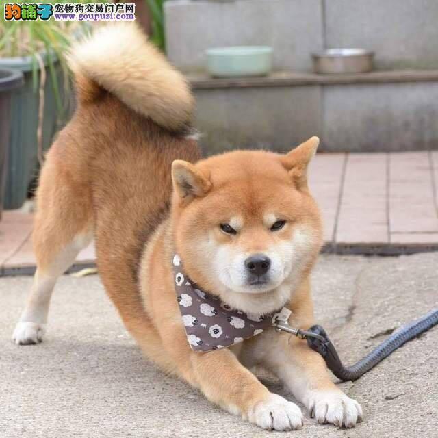 纯种柴犬宝宝莆田地区找主人微信咨询看狗狗视频