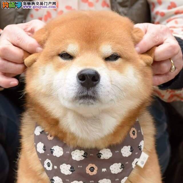 出售纯种健康的柴犬幼犬当日付款包邮