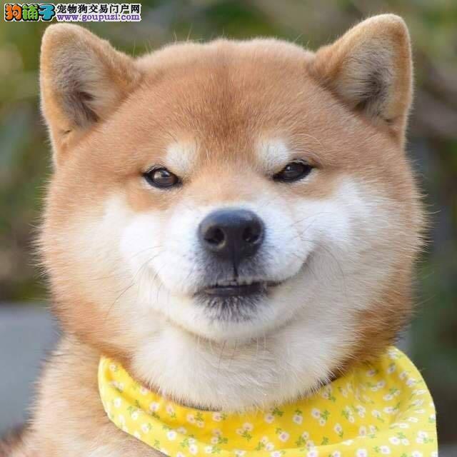 火爆出售血统纯正的济南柴犬可签订活体销售协议