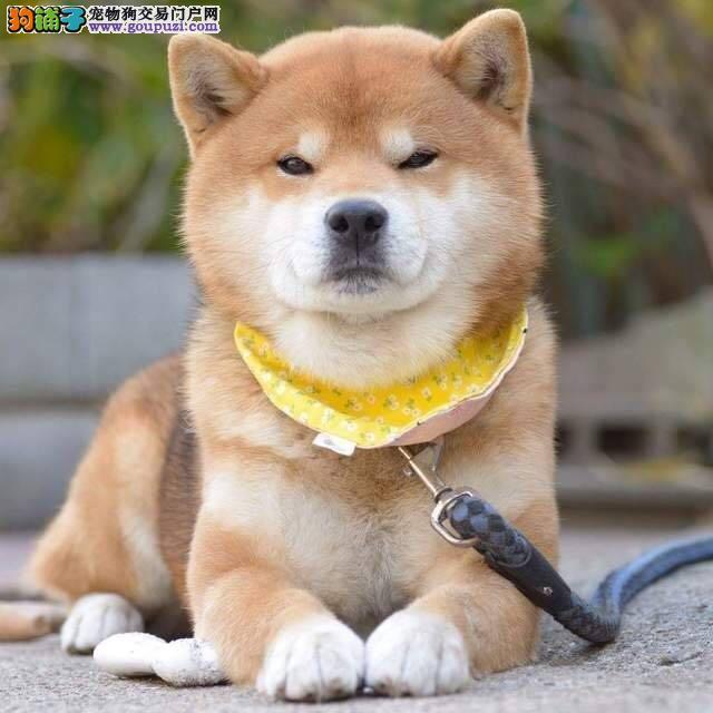 赛级品相西安柴犬幼犬低价出售冠军级血统品质保障