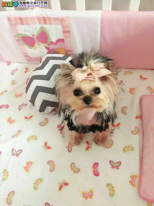 cku约克夏犬组冠军幼犬 包健康 厂家直销