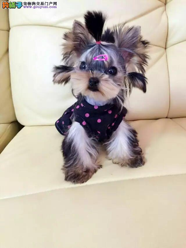 CKU认证犬舍 专业出售极品 约克夏幼犬一分价钱一分货