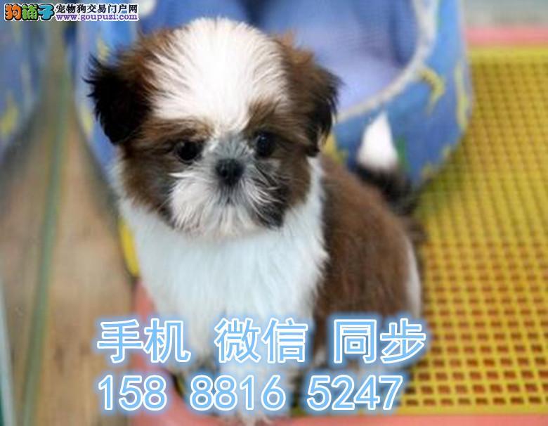 南京西施犬西施价格 南京哪里买西施犬