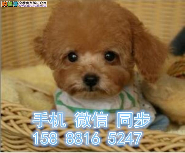 圆头圆脑的小可爱 甜美的小玩具泰迪犬狗狗找新主人