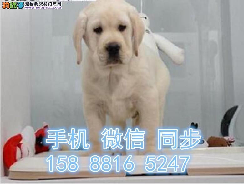 南京犬舍直销神犬小七同款拉布拉多