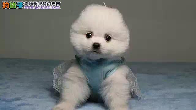 昌吉哪里有卖俊介犬 纯种哈多利球体俊介价格 俊介图片