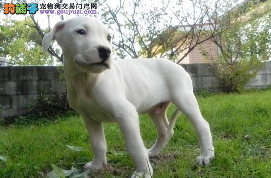 专业繁殖精品大骨量杜高犬/终身质保证书齐全 1200