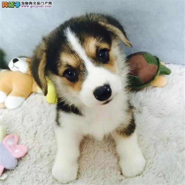 犬舍直营高品质 柯基犬 幼犬包健康 可送货上门 1200