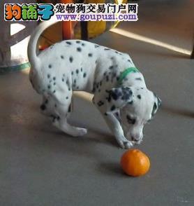 永盛犬业十多年的繁殖经验 纯种斑点犬同城免费送狗