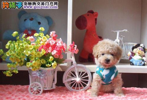 永盛犬业十多年的繁殖经验 纯种泰迪犬 同城免费送狗
