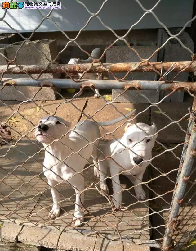 盛诚犬业十多年的繁殖经验 纯种杜高犬 同城免费送狗