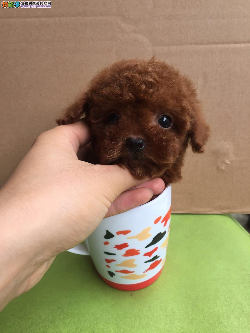 繁殖基地出售多种颜色的茶杯犬最优秀的售后