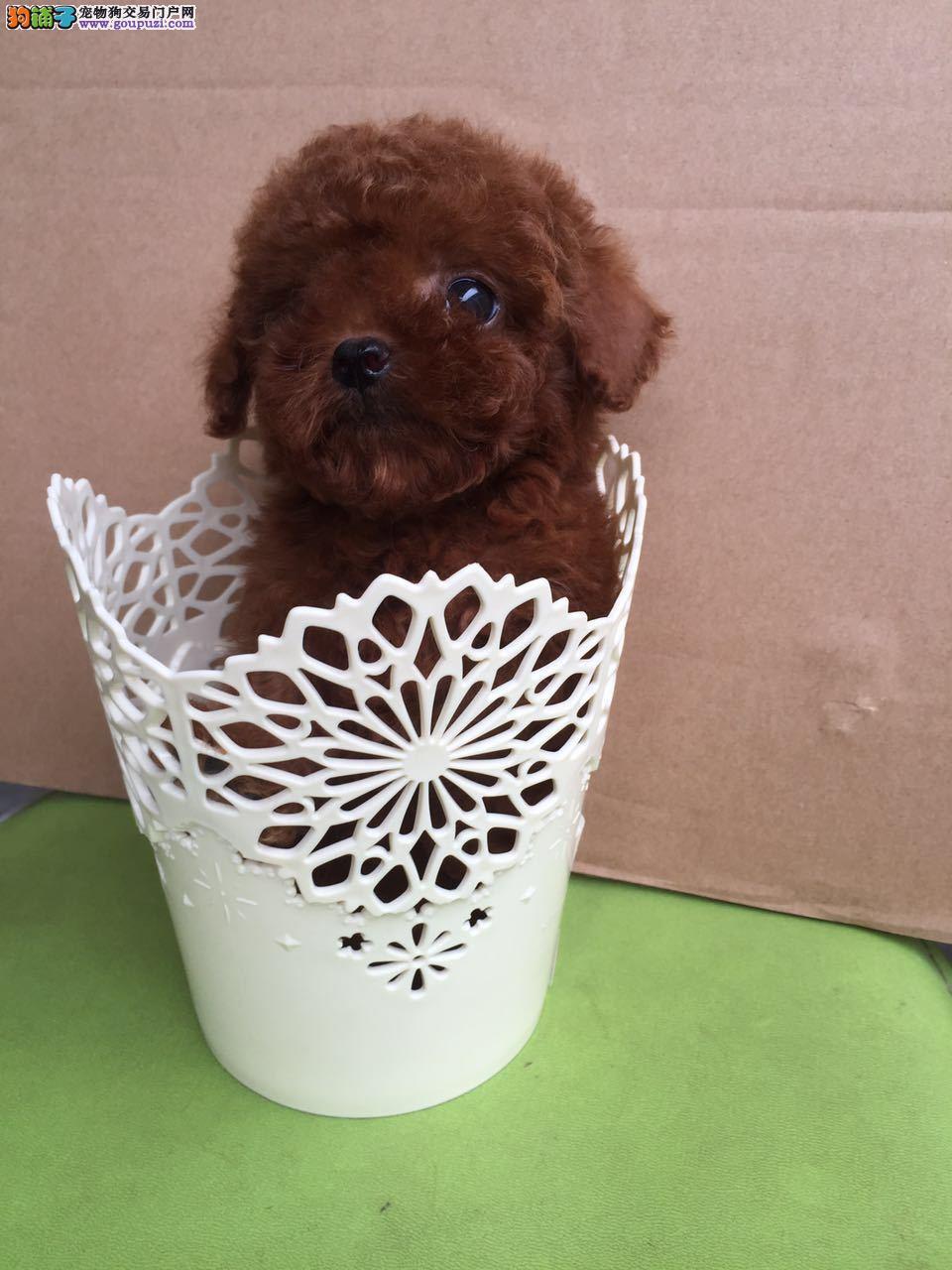 出售茶杯犬专业缔造完美品质签署质保合同