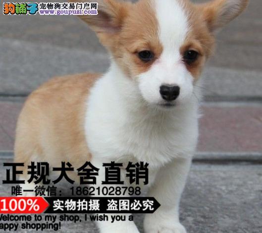 上海高品质两色三色柯基犬一大型养殖基地 终身保品质