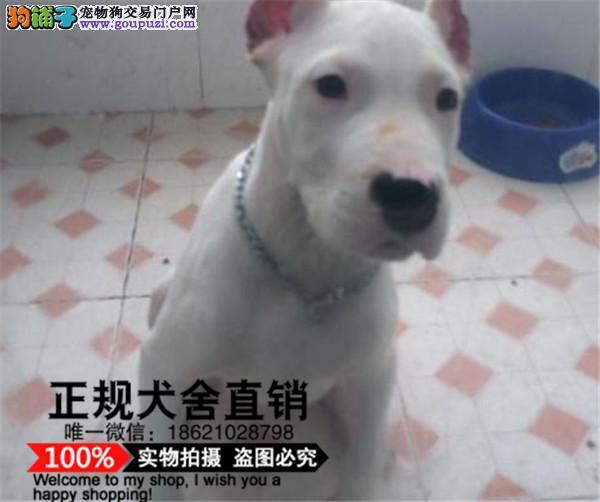 上海基地出售纯种杜高杜高幼犬赛级杜高犬已做疫苗驱虫